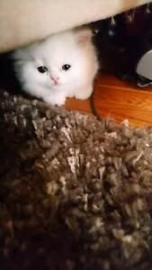 Beautiful, Purebred Persian Kittens
