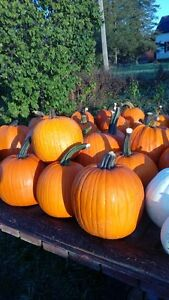 pumpkins for sale Peterborough Peterborough Area image 2