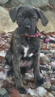 14 week old purebred female Cane Corso puppy for new loving home