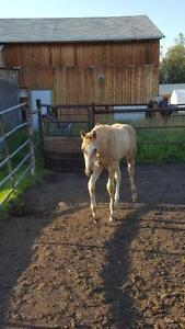 Foundation Bred Weanling Palamino Filly