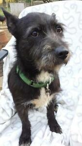 "Adult Female Dog - Terrier: ""TRACY"""