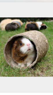 WANTED: GUINEA PIGS  Eastern Heights Ipswich City Preview