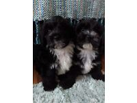Rare Havanese/Tibetan terrier puppies looking new homes