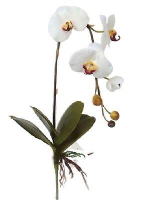 Terrarienpflanze-Regenwald, Orchidee, Phalanaeopsis, 4  Weiße Blüten, 74 cm