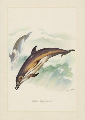 Delfin (Delphinus delphis) Gewöhnlicher Delfin  Farbdruck 1958