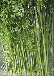 Bambus Fargesia yunnanensis KEINE RHIZOMSPERRE 25 Samen