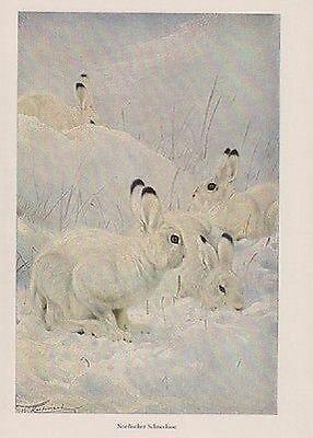 Nordischer Schneehase Polarhase (Lepus arcticus)  Wilhelm Kuhnert Farbdruck 1953