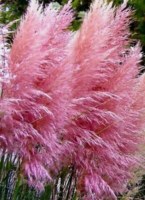 Pink Pampas Grass Seeds, Heirloom Ornamental Grass Seeds, Feathery Blooms 50ct