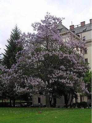 Royal Empress- Paulownia Tree- 25 Seeds