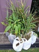 Tiger Grass Banyo Brisbane North East Preview