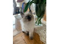 Lovely 3 month male Ragdoll for sale