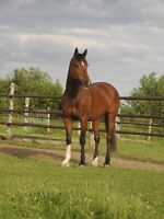 Quiet part boarder wanted for intelligent mare, Clyde/TB