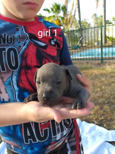 American Staffy Puppies
