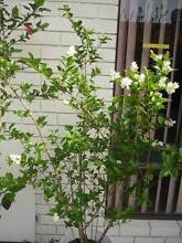 "Fragrant Shrub – ""Privet – Golden Vicary"" ($15each) Alexander Heights Wanneroo Area Preview"