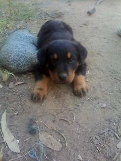 Purebred Rottweiler puppies Laidley Lockyer Valley Preview