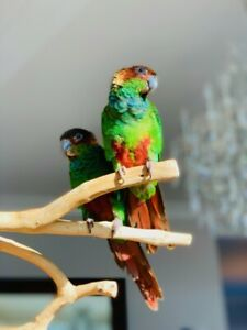 Breeder, /Baby Parrots Handfed Certified /Conure /Quaker Parrots