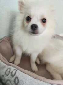 Miniature Pomeranian male puppy