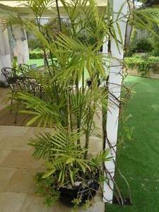 6 Bamboo Palms, Tropical, Garden Pots, Potted, Fern. Palm Tree Quinns Rocks Wanneroo Area Preview