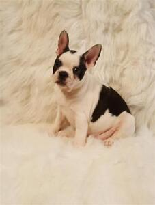 French Bulldog X Boston Terrier  -- Frenchton --Male Pup
