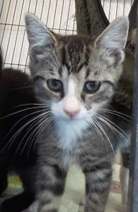 """Baby Male Cat - Domestic Short Hair: """"Jared"""""""