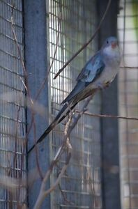 Princess Parrot Blue Wattle Grove Kalamunda Area Preview