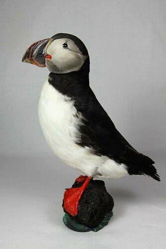 Puffin # 3 Arctic Taxidermy. Taxidermy Bird.