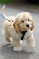Looking for a cockapoo
