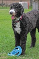 Wanted - A ride for my Sheepadoodle from Ottawa to Regina