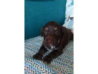 Very rare havanese/tibetan terrier puppies available