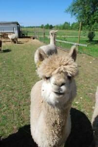 Alpaca for sale!!!