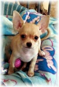 Chihuahua Smoothcoat Female Puppy - Pedigree - Registered Breeder Blackbutt Darling Downs Preview