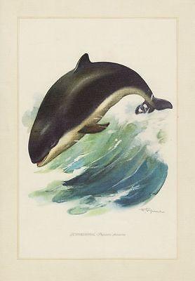Schweinswal (Phocoena phocoena) Wal   Farbdruck 1958