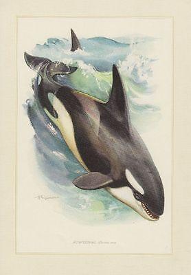 Schwertwale (Orcinus orca) Orca Großer Schwertwal  Farbdruck 1958