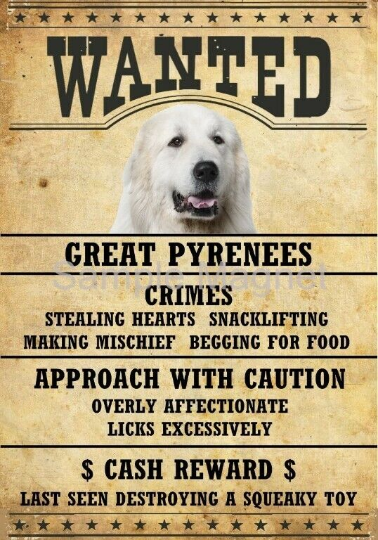"""GREAT PYRENEES Wanted Poster Fridge Dog Magnet LARGE 3.5"""" X 5"""""""
