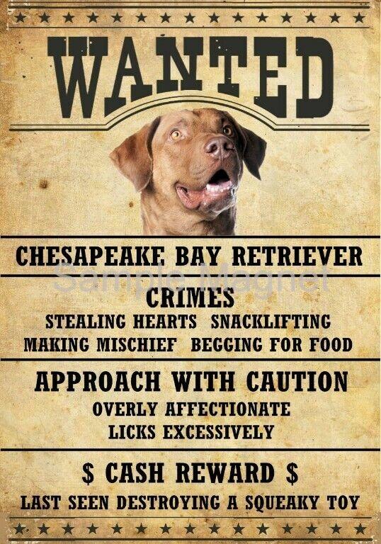 "CHESAPEAKE BAY RETRIEVER Wanted Poster Fridge Dog Magnet LARGE 3.5"" X 5"""