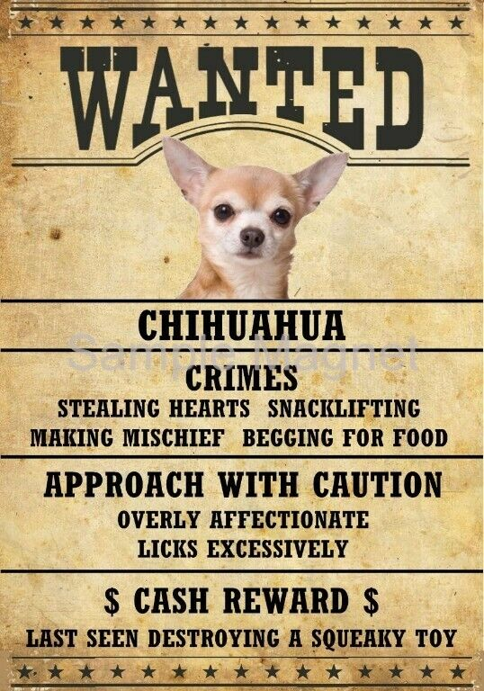 "CHIHUAHUA Wanted Poster Fridge Dog Magnet LARGE 3.5"" X 5"""