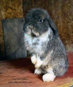 Retired Holland Lop Bunny Looking For a Home!