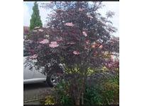Sambugus Nigra 'Black Lace', Tree - 3 m high