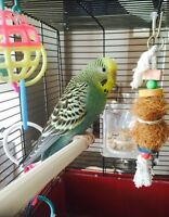 Budgie, Cage and Accessories