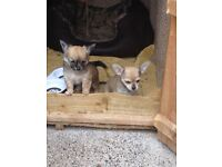 Chihuahua puppies for sale girl and boy