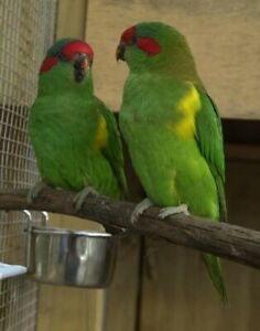 Pairs of Musk Lorikeet Parrots for Sale