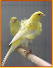 Beautiful Frill Canaries for sale Various Colors Liverpool Liverpool Area Preview