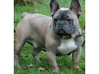 French bulldog Blue fawn male kc registered 10 months old puppy