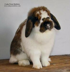 Gorgeous Purebred Holland Lop Bunny