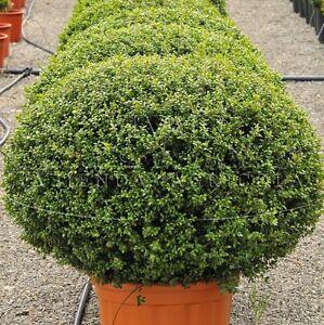 5 x bosso piante bosso buxus piantine di bosso buxus arredo giardino vaso 7x7 ebay - Piante x giardino ...