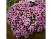 5 x 9cm Pots Bressingham Pink Creeping Thyme Herb | Sented ground cover | Easy Care