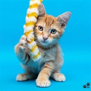 """Leroy"" Adoption- Perth Animal Rescue- Cat/kitten"