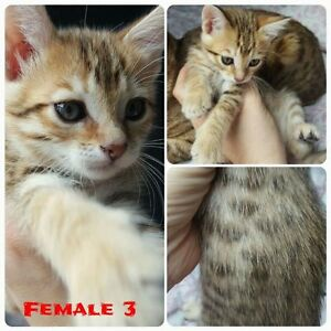 Exotic Bengal cats (Kittens - Pure Bred) F6