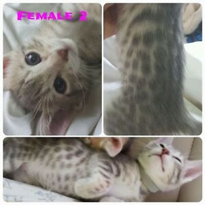 Exotic Kittens, Pure Bred Bengal Cubs