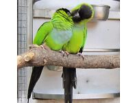 Nanday conure parrot